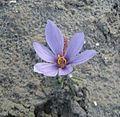 Crocus sativus, saffron (57).JPG