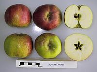 Cross section of Autumn Arctic, National Fruit Collection (acc. 1974-121).jpg