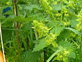 Cruciata laevipes10.jpg