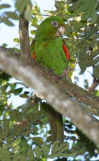 Cuban Parakeet (Aratinga euops) -in tree-6-4c