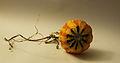 Cucurbita ornamental - Autumn Squash IX.jpg