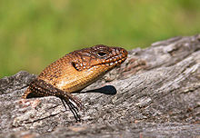 Cunningham's Skink - Wikipedia, the free encyclopedia