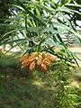 Cunninghamia lanceolata4.jpg