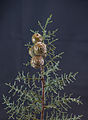 Cupressus glabra 'Glauca' - blaue Zypresse - 01.jpg