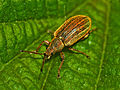 Curculionidae - Phyllobius pyri.JPG