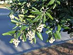 Curtisia assegai tree - South Africa 2.jpg