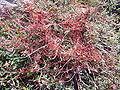 Cuscuta epithymum1.jpg