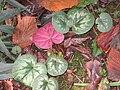 Cyclamen coum feuilles.jpg