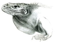 Cyclura collei head-PZSL1848.png