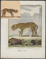 Cynailurus jubatus - 1700-1880 - Print - Iconographia Zoologica - Special Collections University of Amsterdam - UBA01 IZ22100141.tif