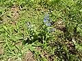 Cynoglossum furcatum-1-seetha eliya-nuwara eliya-Sri Lanka.jpg