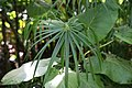 Cyperus alternifolius 2zz.jpg