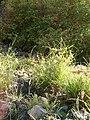 Cyperus eragrostris 037.JPG