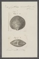 Cytherea concentrica - - Print - Iconographia Zoologica - Special Collections University of Amsterdam - UBAINV0274 078 01 0042.tif