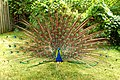 DSC00674 - Peacock (7693701922).jpg