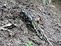 Daždevnjak - Salamandra salamandra2.jpg