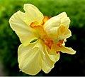 Daffodil -- Narcissus 'Tahiti'.jpg