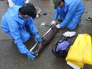Kitefin shark - Japanese researchers measure a kitefin shark; this species has long been of economic significance.