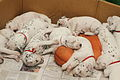 Dalmatian puppy, three weeks-7.JPG