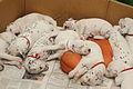 Dalmatian puppy, three weeks-7.JPG