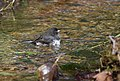 Dark-eyed Junco (30180548475).jpg