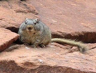 Dassie Rat, crop.jpg