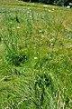 Daucus carota - whole plant (18842991021).jpg