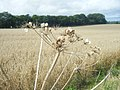Dead Umbellifer near Whitcombe Barn - geograph.org.uk - 1444997.jpg