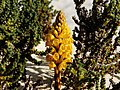 December Yellow Cistanche Colors Teguise - Master Lanzarote Photography 1988 Cistanche tubulosa - panoramio.jpg