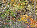 Deer-hiding-in-brush - West Virginia - ForestWander.jpg