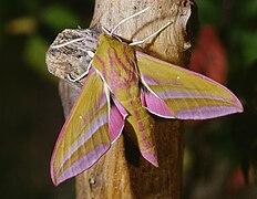 Deilephila elpenor 04.jpg