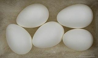 Vajíčka belorítky