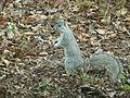 Delmarva Peninsula fox squirrel (15267238285).jpg