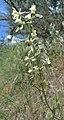 Delphinium xantholeucum 6.jpg