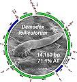 Demodex folliculorum SEM.jpg