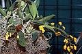 Dendrobium aggregatum 1zz.jpg