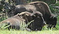 Denver Bison Herd Genessee Park Colorado.JPG