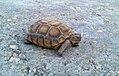Desert Tortoise2 (6215574920).jpg