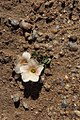 Dessert flower, Northern Cape (6253215166).jpg