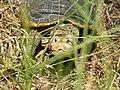 Diamondback terrapin turtle (5735113406).jpg