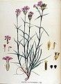 Dianthus carthusianorum — Flora Batava — Volume v17.jpg