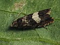 Dichrorampha sequana (39473136420).jpg