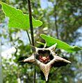 Dictyanthus yucatanensi.jpg
