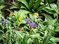 Die Berg-Flockenblume, Centaurea montana 04.jpg