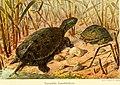 Die Reptilien und Amphibien mitteleuropas (1912) (20319893254).jpg
