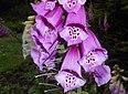 Digitalis purpurea 2015-06-20 3378.jpg