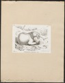 Dinothereum giganteum - 1700-1880 - Print - Iconographia Zoologica - Special Collections University of Amsterdam - UBA01 IZ22000309.tif