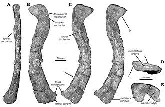 Diodorus scytobrachion - Left femur