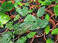 Dipelta floribunda cuttings - Flickr - peganum.jpg