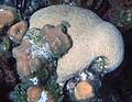 Diploria labyrinthiformis (grooved brain coral) (San Salvador Island, Bahamas) 1 (16107511066).jpg